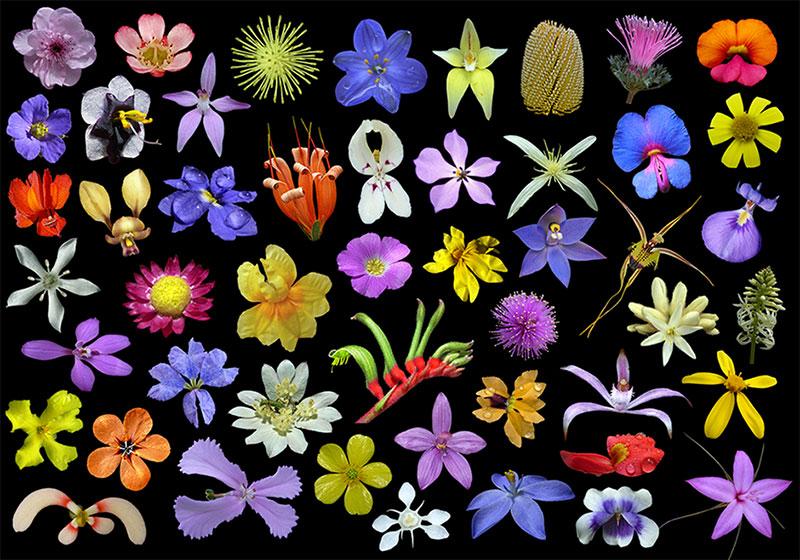 Wildflowers_western_australia